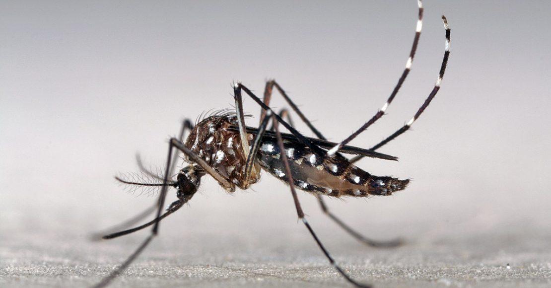 Aedes aegypti mygga dengue feber i Thailand.