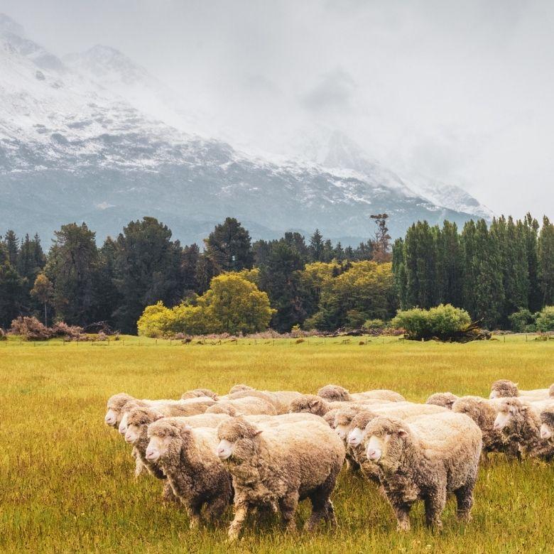Merinofår ullkläder merinoull får